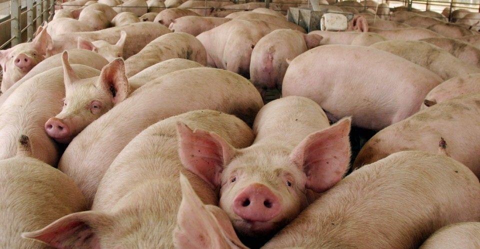 SMA exige a Plantel de Cerdos Santa Josefina cumplir con la sanción de clausura definitiva
