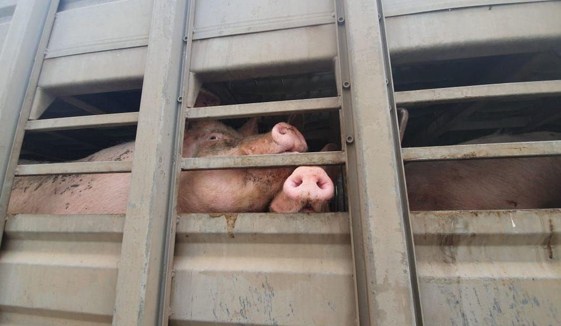 SMA inicia proceso de cierre progresivo del plantel de cerdos Santa Josefina